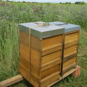 Geschenk-Bienenpatenschaft - zeitloses Präsent mit Nachhaltigkeit